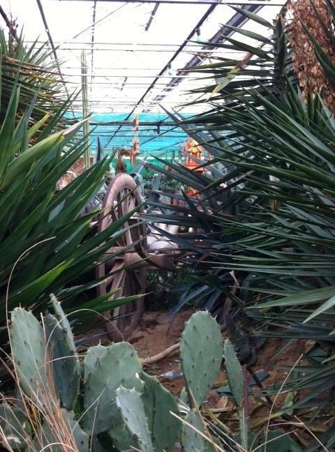 P Cactus
